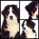 Kelly's Bernese Mountain Dogs