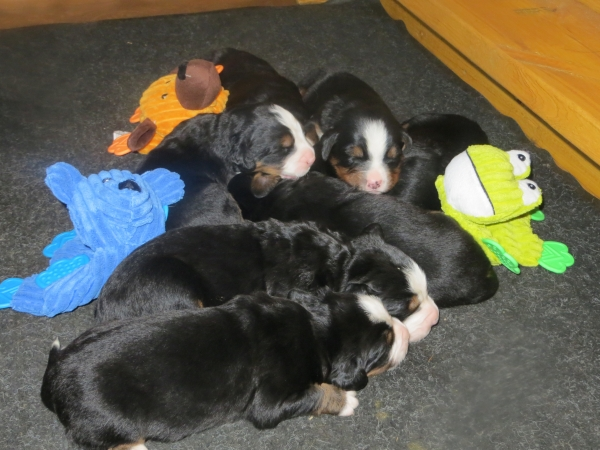 Meeka's Puppies at 2 weeks old