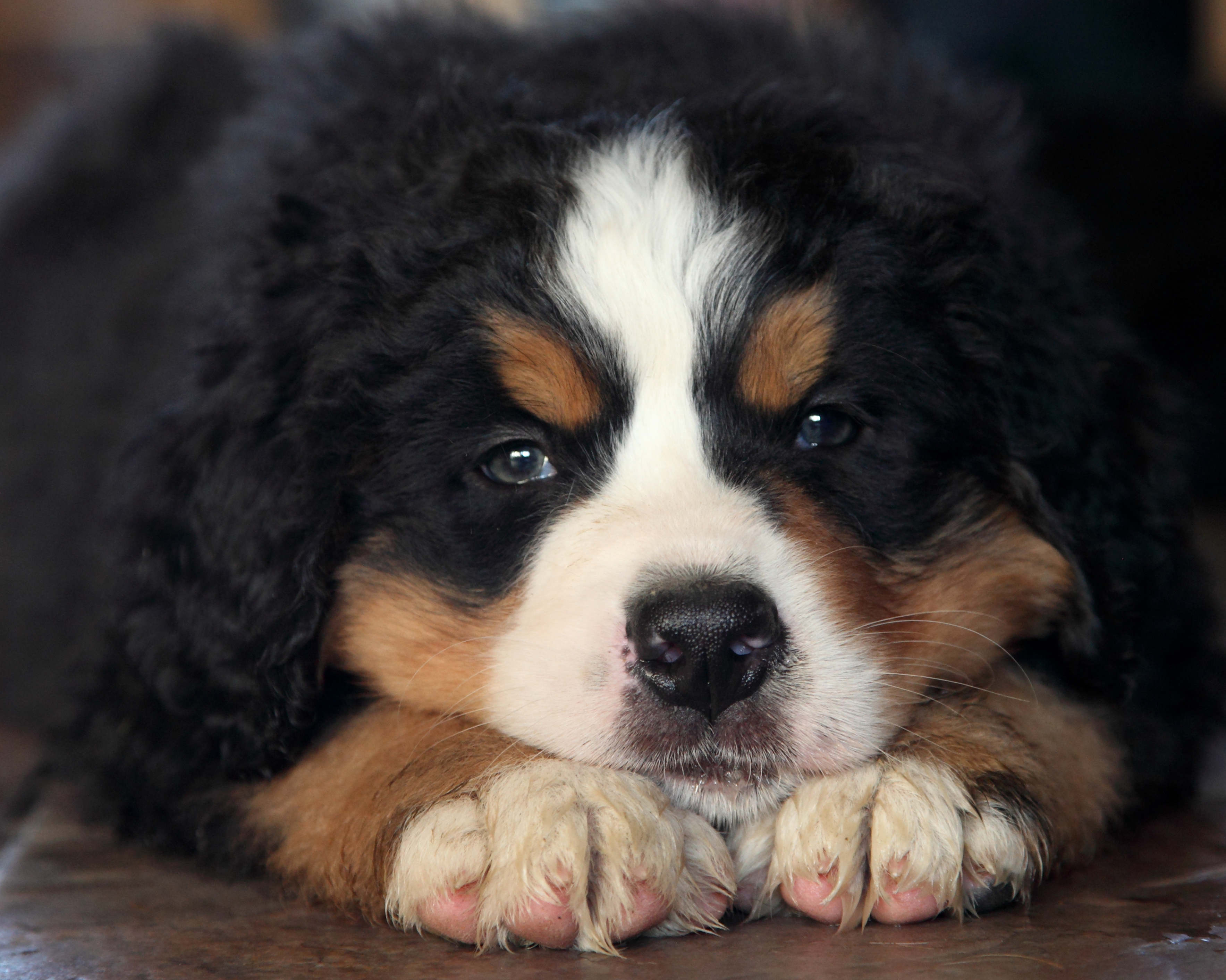 bernese mountain dogs for sale in manitoba  u2014 kellys bernese mountain dogs com